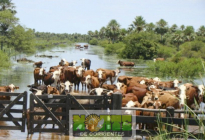 Rescatan unas 400 cabezas de ganado de campos anegados