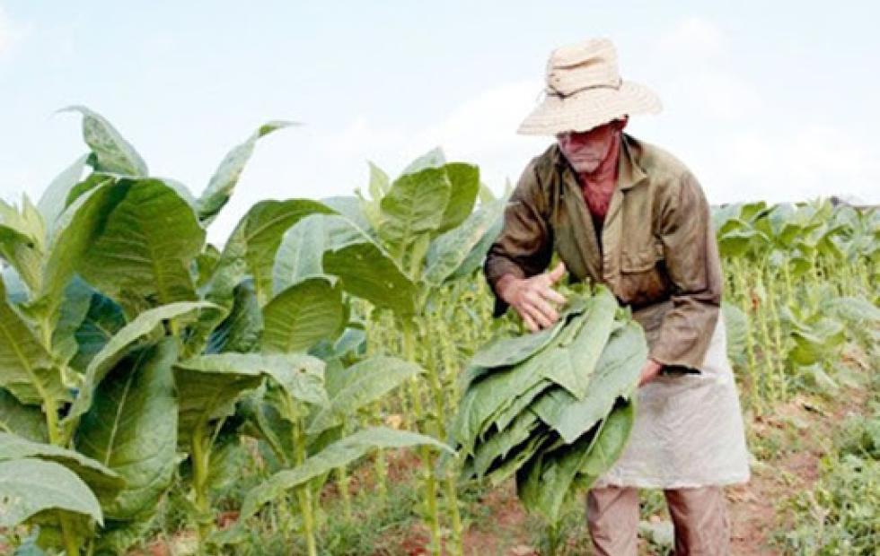 Nación confirmó el envío de $102 millones a tabacaleros de Corrientes